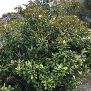 magnolia grandiflora albero da giardino