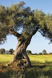 olivo albero da giardino