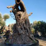 Ceratonia siliqua - Carrubi: caratteristiche, coltivazione e raccolta