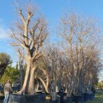 Celtis australis: caratteristiche, coltivazione e raccolta