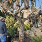 Melograni: caratteristiche, coltivazione e raccolta