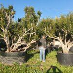 Mirti: caratteristiche, coltivazione e raccolta