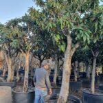 Nespoli: caratteristiche, coltivazione e raccolta