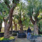 Schinus molle (Falso Pepe): caratteristiche, coltivazione e raccolta