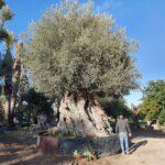 Ulivi: caratteristiche, coltivazione e raccolta