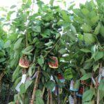 Azzeruolo: caratteristiche, coltivazione e raccolta