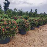 Callistemon: caratteristiche, coltivazione e raccolta