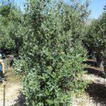 Feijoa: caratteristiche, coltivazione e raccolta