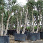 Querce da sughero: caratteristiche, coltivazione e raccolta