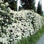 Arbusti per siepi: quali arbusti sono adatti per creare siepi