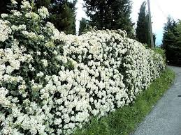 arbusti per siepi guida
