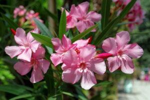 oleandro come pianta da giardino perenne