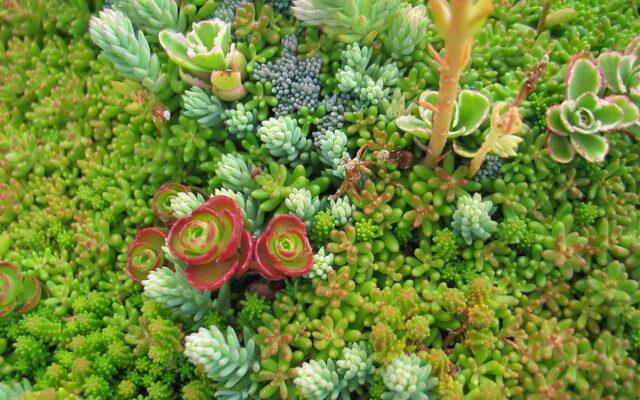 piante grasse resistenti al freddo