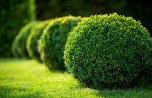 piante evergreen