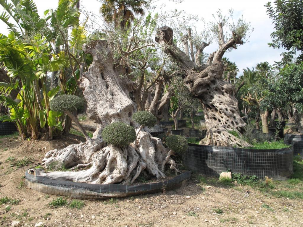 Ulivi pon pon alberi di grandi dimensioni planeta srl