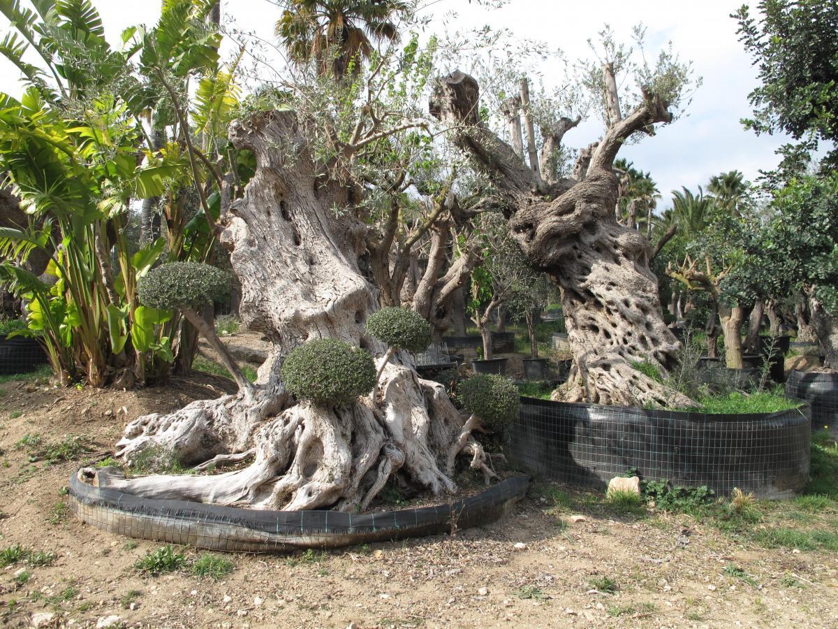 Ulivi pon pon alberi di grandi dimensioni planeta srl - Alberi da interno ...