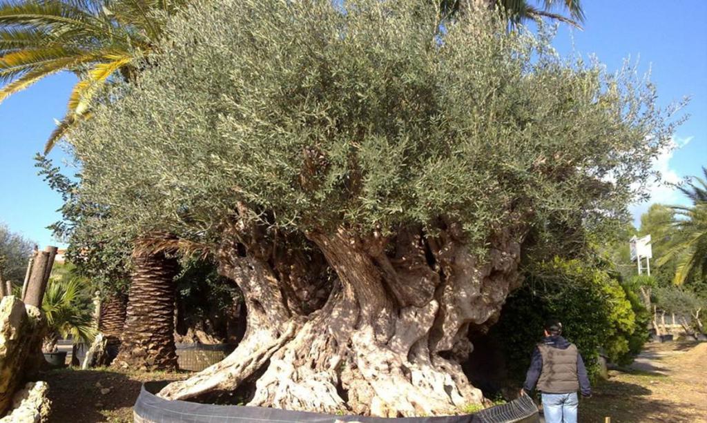Catalogo piante e alberi di grandi dimensioni planetasrl for Alberi in vendita
