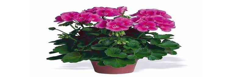 pianta Geranio per giardini verticali