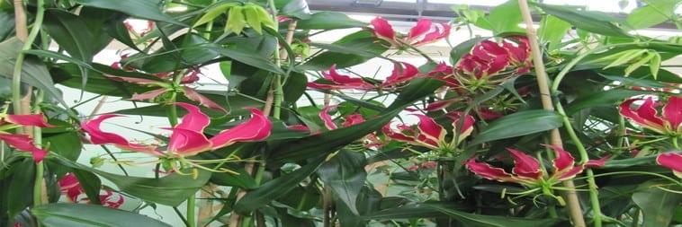 pianta gloriosa