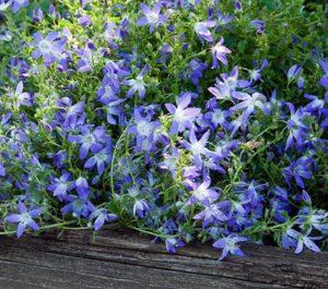 campanule sempreverdi per il giardino