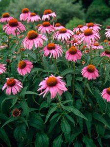 echinacea fiori per giardino
