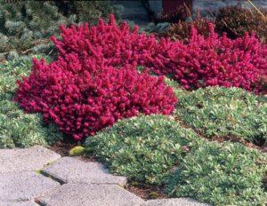 Catalogo piante sempreverdi e perenni da fiore per for Piante da aiuola sempreverdi