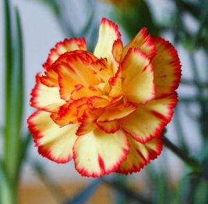 garofani fiori per il giardino
