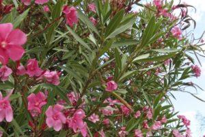 fiore oleandro per giardino