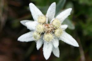 stelle alpine per giardino fiori sempreverdi