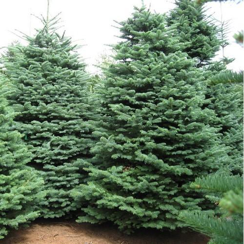 I i sempre verde grana fine conifera-GIARDINO arbusto ornamentale Albero inverno. pietra tasso