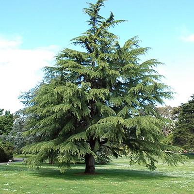 più raramente sempre verde albero pietra quercia Lithocarpus edulis-Giappone