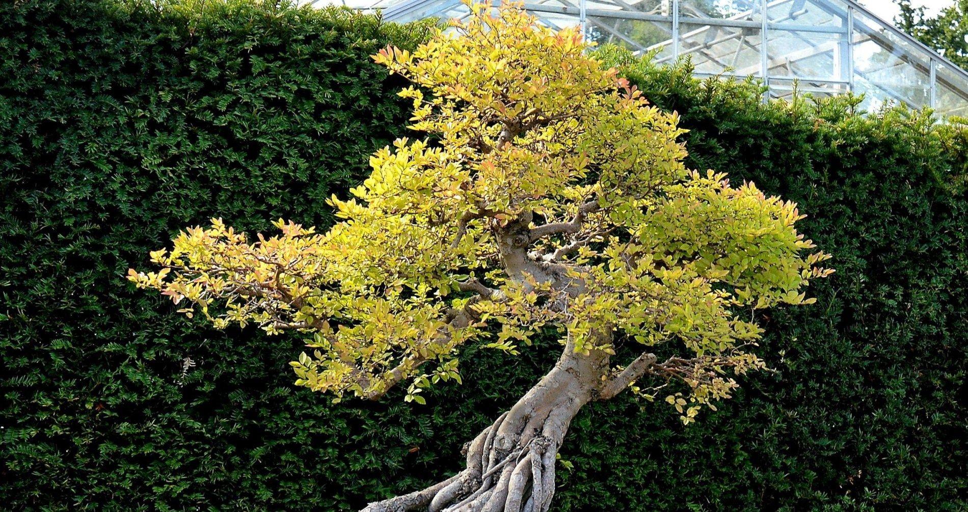 Piante Da Frutto Sempreverdi piante zen: quali piante utilizzare in un giardino zen