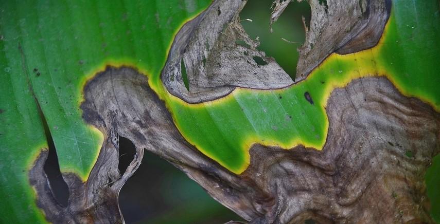 Lithocarpus edulis-Giappone pietra quercia più raramente sempre verde albero