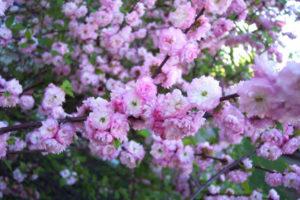 albero da giardino Prunus glandulosa