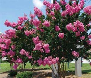 albero da giardino lagerstroemia indica