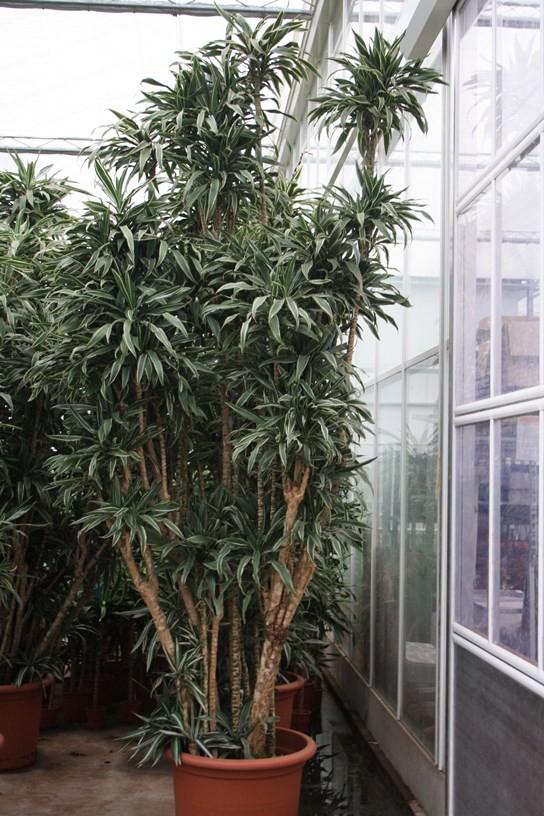 http://fachjan.nl/wp-content/themes/fechjantheme/plant_image/25255.jpg