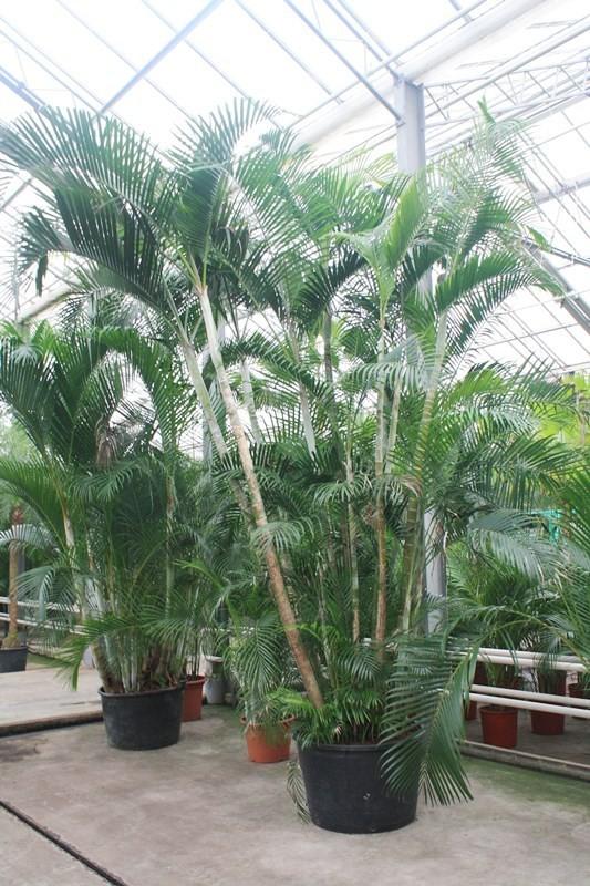 http://fachjan.nl/wp-content/themes/fechjantheme/plant_image/34055.jpg
