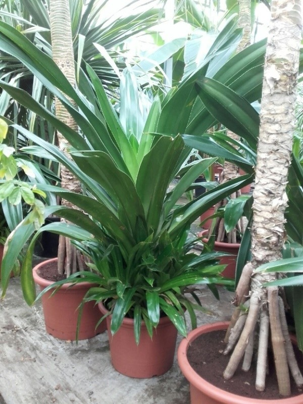 http://fachjan.nl/wp-content/themes/fechjantheme/plant_image/PaHe60Bu.jpg