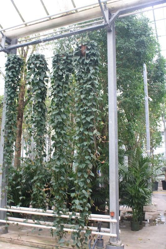 http://fachjan.nl/wp-content/themes/fechjantheme/plant_image/25036.jpg