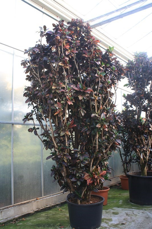 http://fachjan.nl/wp-content/themes/fechjantheme/plant_image/24698.jpg