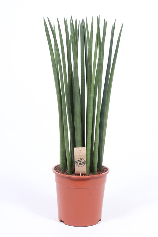 http://fachjan.nl/wp-content/themes/fechjantheme/plant_image/SaSt24Tf.jpg