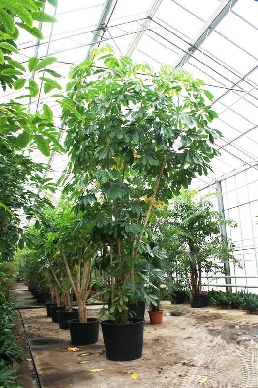 http://fachjan.nl/wp-content/themes/fechjantheme/plant_image/31787.jpg